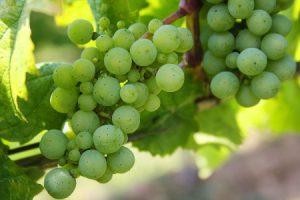 अंगूर खाने के फायदे