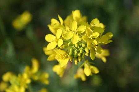 mustard_3709.jpg