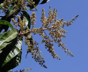 आम की पत्तियों के फ़ायदे