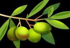 विस्तार में जाने जैतून की पत्तियां के फायदे क्यूंकि ये लाभ करती हैं कैंसर, प्रतिरोधक क्षमता, ब्लड प्रेशर, हाइपरटेंशन, ऑस्टियोपोरासिस में.