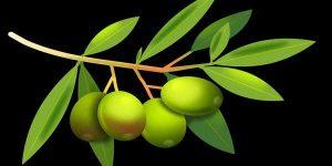 जैतून की पत्तियां – करतीं हैं फायदा कई रोगों में