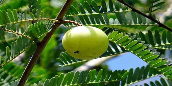 विस्तार में जाने आंवला खाने के फायदे, सही समय और कैसे यह पेट के रोगों के लिए है बहुत फायदेमंद, Amla health benefits in hindi.