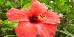 गुड़हल के फूल के फायदे और नुकसान