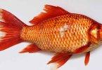 मछली खाने के नुकसान आपकी सेहत के लिए न खाएं मछली दूध और दही के साथ, machli khane ke nuksan apki sehat ke liye hindi me