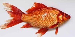 मछली खाने के नुकसान आपकी सेहत के लिए