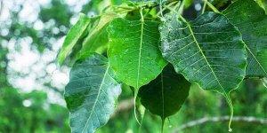 पीपल के पेड़ और पत्तों के आयुर्वेदिक फायदे