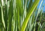 लेमन ग्रास के फायदे और औषधीय गुण जाने विस्तार से क्यूंकि यह कई रोगों में करता है फायदा, lemongrass health benefits in hindi