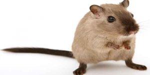 चूहों से छुटकारा पाने के 8 घरेलू उपचार