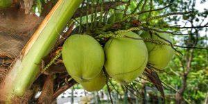वजन कम करने के लिए नारियल पानी के फायदे