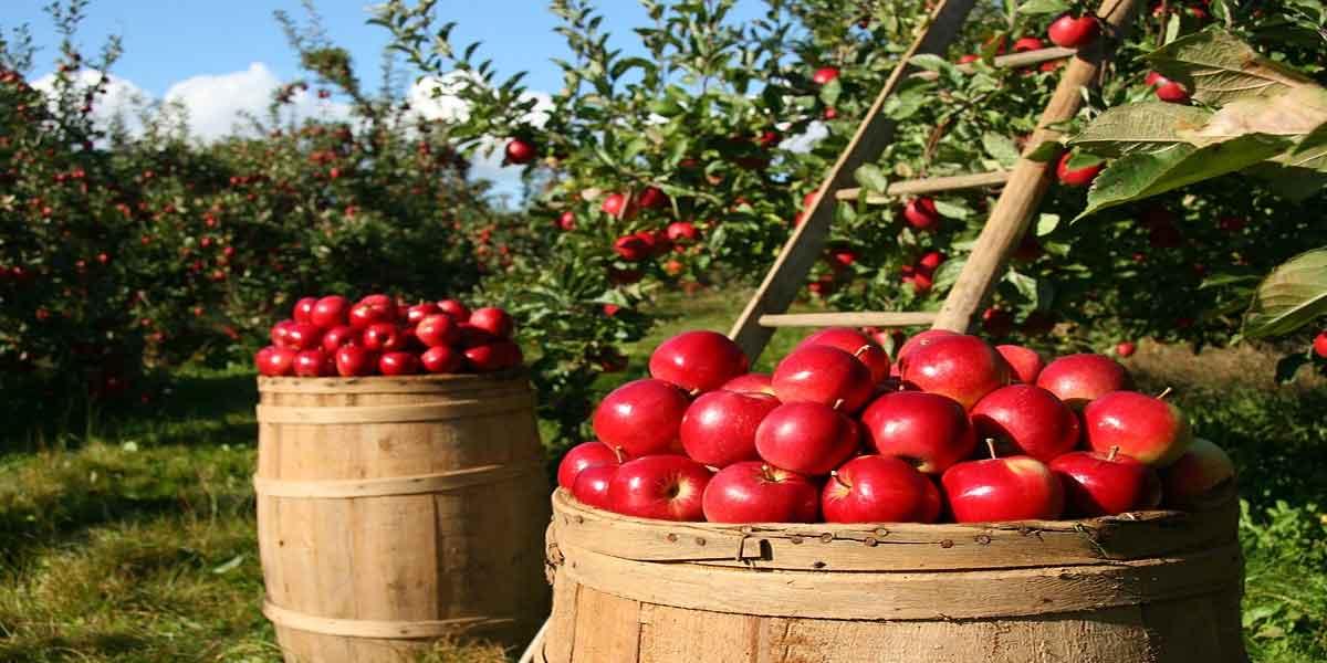 खराब कोलेस्ट्रॉल के स्तर को प्रबंधित करे सेब